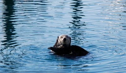 "You ""Otter"" Be Here, Seward Alaska"